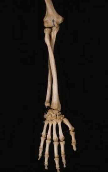 Kleinster Knochen Mensch