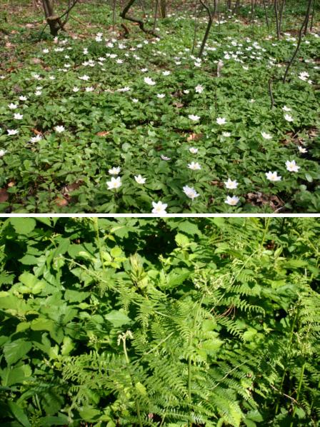 nenne pflanzen aus der baumschicht