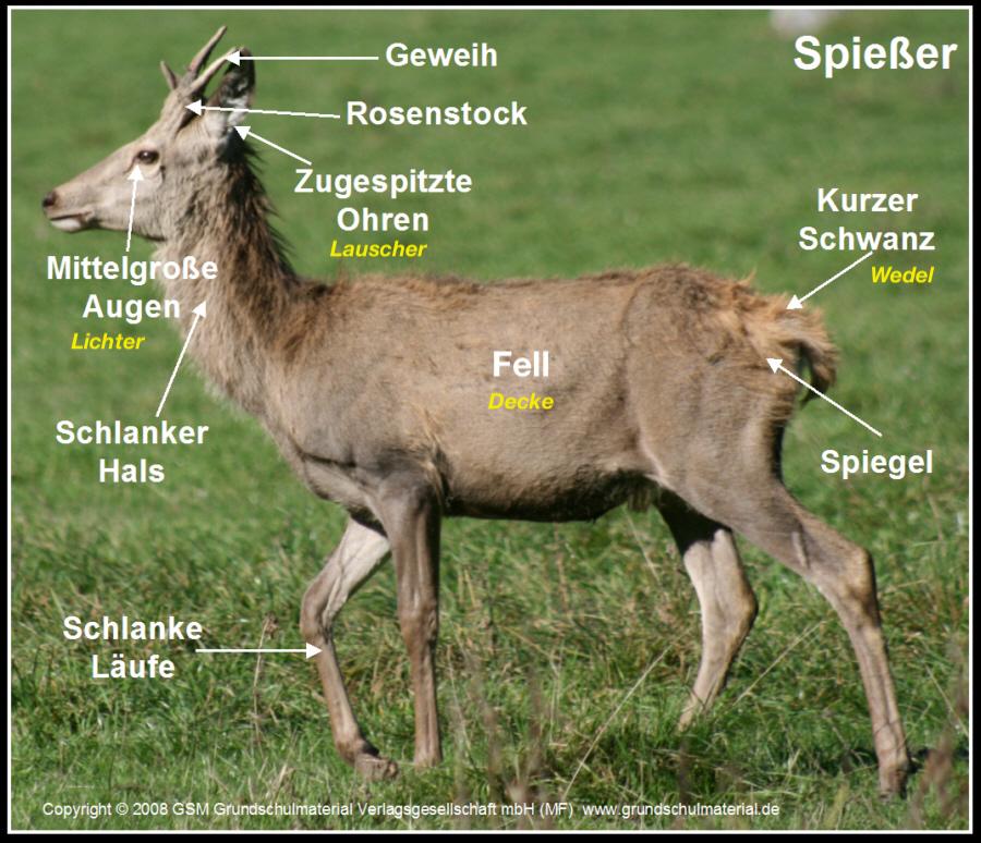Unterschied Reh Und Hirsch