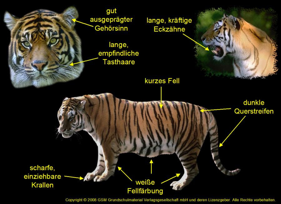 Tiger Aussehen