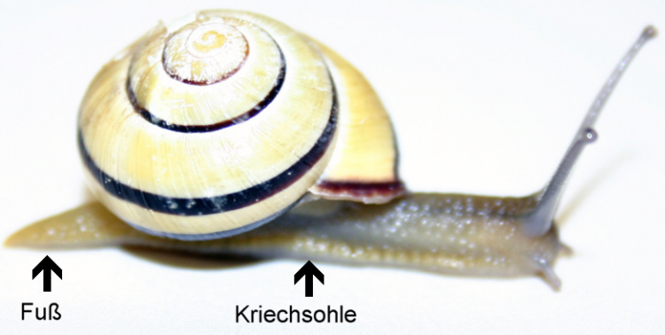 Allgemeines über Schnecken - Medienwerkstatt-Wissen © 2006-2017 ...