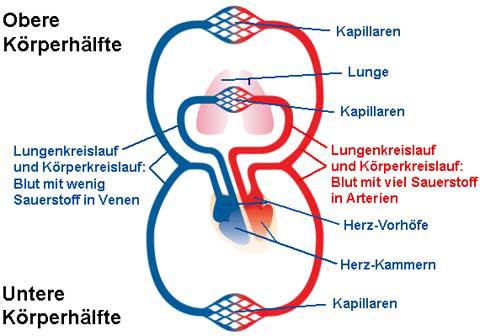 herz kreislauf system eines frosches: