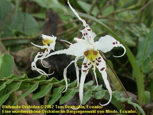 pflanzen in tropischen regenw ldern orchideen. Black Bedroom Furniture Sets. Home Design Ideas