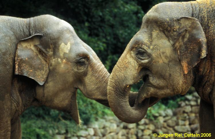 indischer elefant - geschwisterliebe  foto