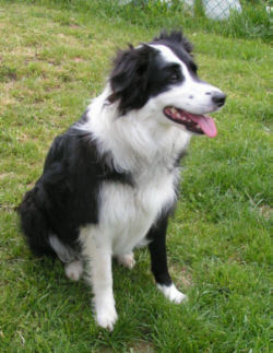 Dogs That Look Like Miiature Border Collies