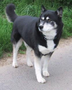 Ikeda Dog Breed