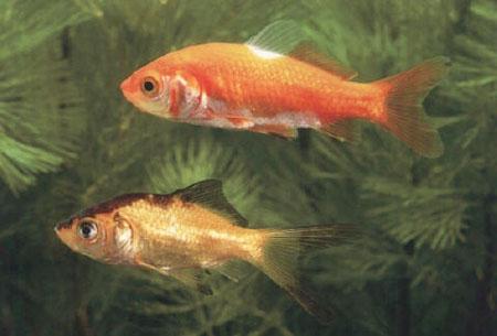 Der goldfisch gehört zur familie der karpfen und stammt aus ostasien