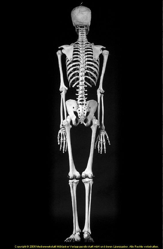 Das Knochengerüst des Menschen (Skelett) - Übersicht ...