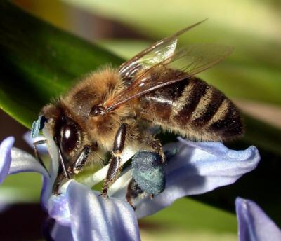 Biene - Honigbiene - Medienwerkstatt-Wissen © 2006-2017