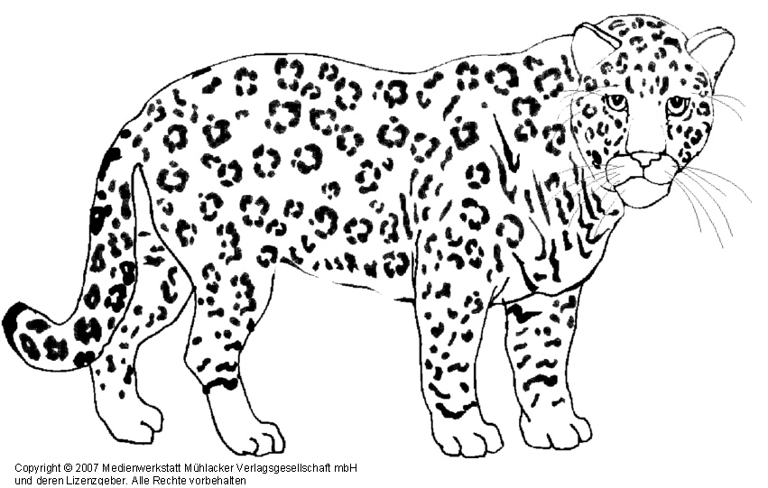 Snow Leperd Coloring Pages Realistic