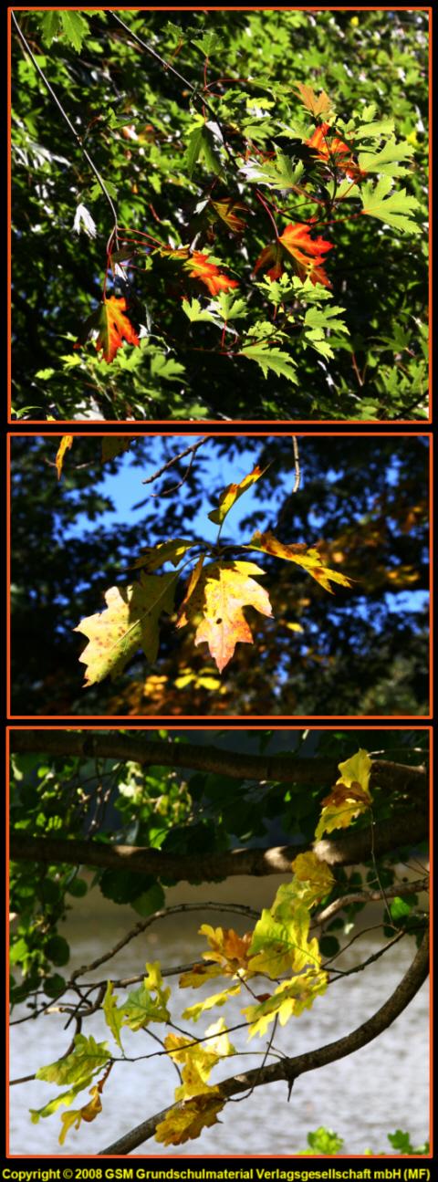 Warum sich im Herbst die Blätter verfärben - Medienwerkstatt-Wissen ...