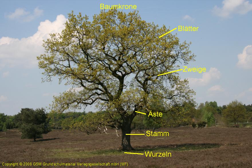 Der Aufbau eines Baumes - Medienwerkstatt-Wissen © 2006-2017 ...