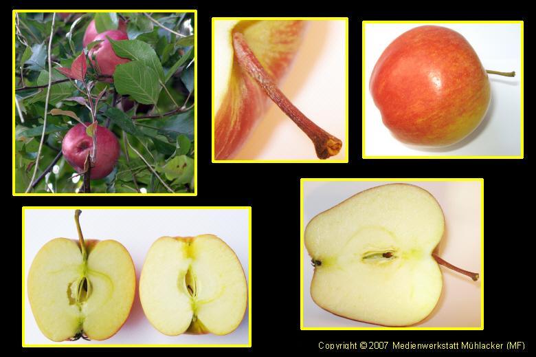 Die Teile eines Apfels - Medienwerkstatt-Wissen © 2006-2017 ...