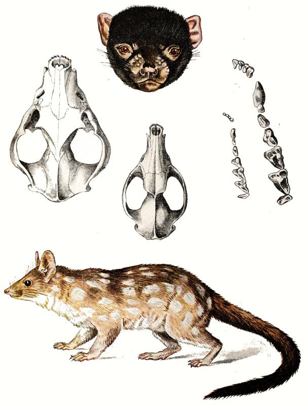 Wunderbar Tasmanischer Teufel Anatomie Galerie - Menschliche ...