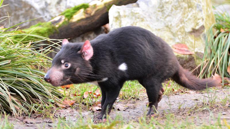 tasmanischer beutelteufel