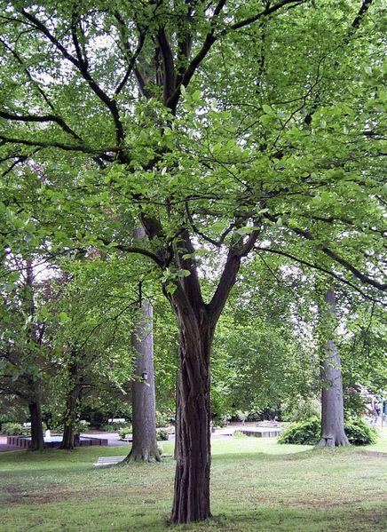 Gemeinsame Hainbuche - Baum des Jahres 1996 - Medienwerkstatt-Wissen © 2006 &TC_88